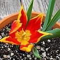 Tulipa schrenkii, Mary Sue Ittner