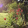 Tulipa sprengeri, Rodger Whitlock