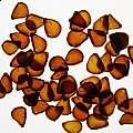 Tulipa sylvestris, Kathleen Sayce