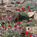 Tulipa systola among rocks and other wildflowers in Israel, Gideon Pisanty
