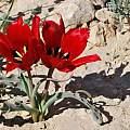Tulipa systola, Gideon Pisanty