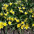 Tulipa tarda, Mark McDonough