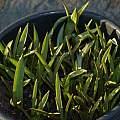 Tulipa tarda shoots, David Pilling