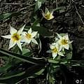 Tulipa turkestanica, Janos Agoston