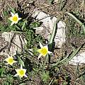 Tulipa turkestanica, David Victor