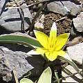 Tulipa turkestanica, David Victor