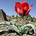 Tulipa undulatifolia var. micheliana, Smrazavi, CC BY-SA 4.0