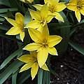 Tulipa urumiensis, Arnold Trachtenberg
