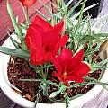 Tulipa vvedenskyi, Bob Rutemoeller