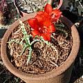 Tulipa vvedenskyi, Mark McDonough