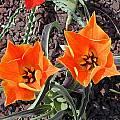 Tulipa vvedenskyi hybrid, John Lonsdale