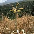 Yellow flowered form in habitat halfway to the mountain house above Dzhabagly, David Victor