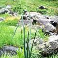 Drimia macrocentra, syn. Urginea macrocentra, Rogan Roth