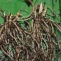 Uvularia grandiflora roots, David Pilling