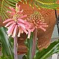 Veltheimia bracteata, Jennifer Hildebrand