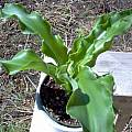Veltheimia bracteata, Rand Nicholson