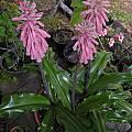 Veltheimia bracteata, Bob Rutemoeller
