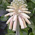 Veltheimia bracteata 'Cream', Doug Westfall