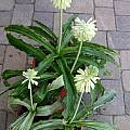 Veltheimia bracteata variegated leaves, Doug Westfall
