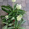 Veltheimia bracteata variegated leaves, Doug Westfall