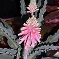 Veltheimia capensis, Doug Westfall