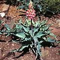 Veltheimia capensis fruit, Little Karoo, Mary Sue Ittner