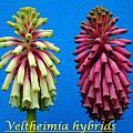 Veltheimia hybrid, Bill Dijk