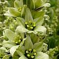 Detail of a whiteish-flowered plant, Chamonix, French Alps, Tom Mitchell