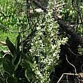 Veratrum californicum, Nhu Nguyen