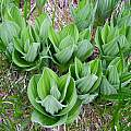 Veratrum californicum, Mary Sue Ittner