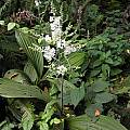 Veratrum fimbriatum, Bob Rutemoeller [Shift+click to enlarge, Click to go to wiki entry]