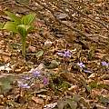 Veratrum nigrum with Hepatica nobilis and Erythronium dens-canis, Montenegro, early May, Tom Mitchell