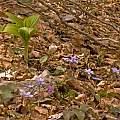Veratrum nigrum with Hepatica nobilis and Erythronium dens-canis, Montenegro, early May, Tom Mitchell