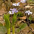 Veratrum nigrum with Hepatica nobilis, Montenegro, early May, Tom Mitchell