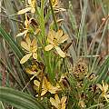 Wachendorfia multiflora, Nieuwoudtville, Andrew Harvie