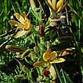 Wachendorfia multiflora, Brackenfell, Mary Sue Ittner
