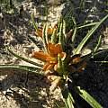 Wachendorfia multiflora, Rod Saunders