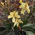 Wachendorfia paniculata, Michael Mace