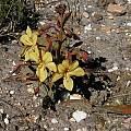 Wachendorfia paniculata, Bob Rutemoeller