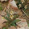 Wachendorfia paniculata, Clanwilliam, Mary Sue Ittner