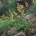 Wachendorfia paniculata, Mary Sue Ittner