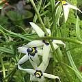 Walleria gracilis, Ernie DeMarie