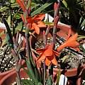 Watsonia coccinea, Michael Mace