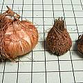 Watsonia coccinea, Mary Sue Ittner