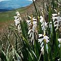 Watsonia densiflora white, Rogan Roth