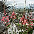 Watsonia fourcadei, Caledon, Cameron McMaster