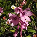 Watsonia humilis, Mary Sue Ittner