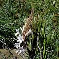 Watsonia pillansii hybrid, Gaika's Kop, Mary Sue Ittner