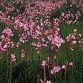 Watsonia laccata, Rod Saunders