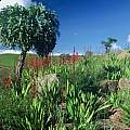 Watsonia latifolia, Rod Saunders